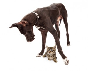 Great Dane Dog with Kitten Under Feet